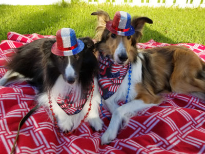 Sheltie 4th of July