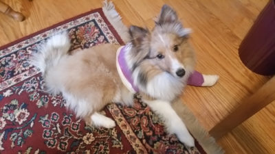 Sheltie in rescue