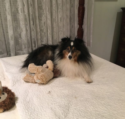 Sheltie waiting in bed