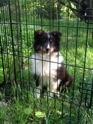 Sheltie puppy in pen
