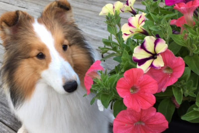 Sheltie in flowers