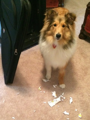 Sheltie shredding luggage tag