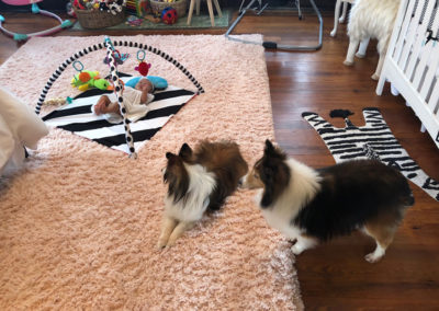 shelties and baby