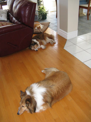 Cat problems for Shelties