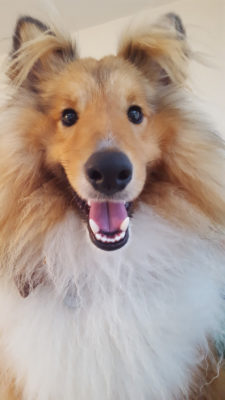 Cute Sheltie smiling