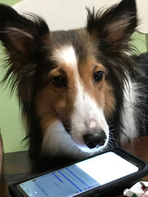 Sheltie and phone