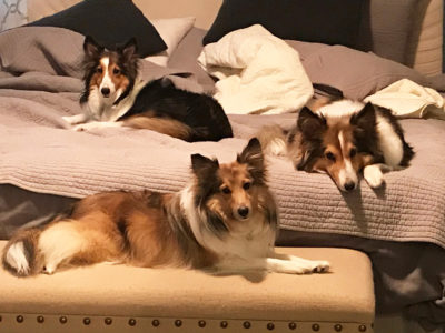 Three sable shelties