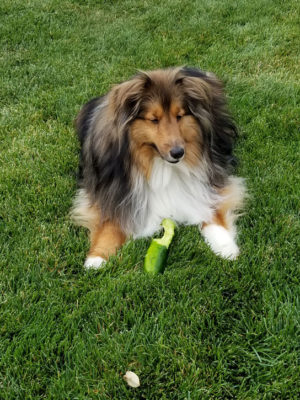 Sheltie eating cucumber