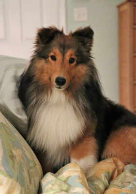 Sheltie waiting