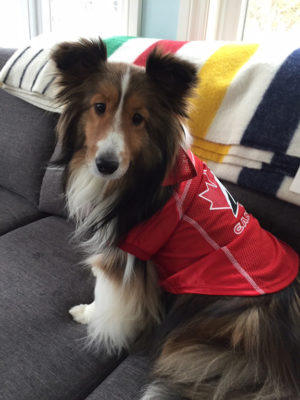 Sheltie in Canadian jersey
