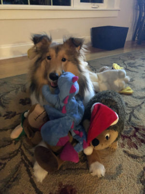 Sheltie with a lot of toys!
