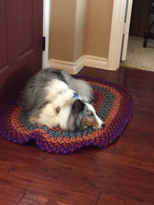sleepin Sheltie on rug