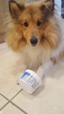 Sheltie eating out of cup