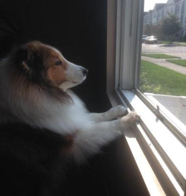 Sheltie looking out window