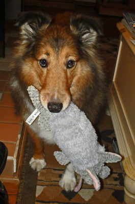 Sheltie with toy