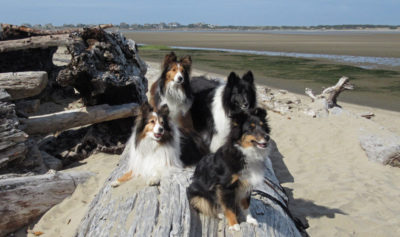 Shelties on beach
