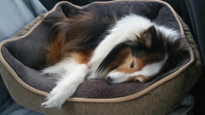 Sheltie napping in car