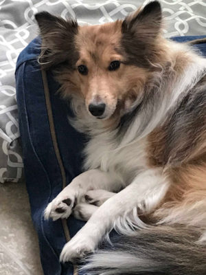 Sheltie in bed