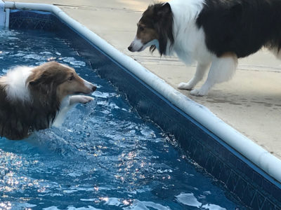 Shelties swimming