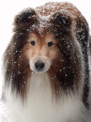 Snowy Sheltie