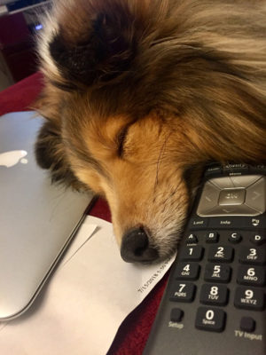 Sleeping Sheltie