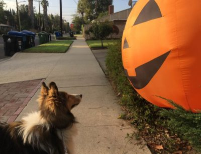 Sheltie and big pumpkin