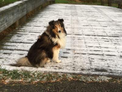 Sheltie frost