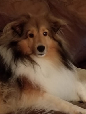 Sheltie looking at you