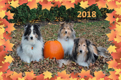 Shelties with pumkin