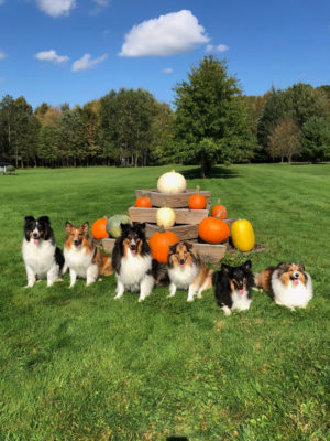 Shelties in fall
