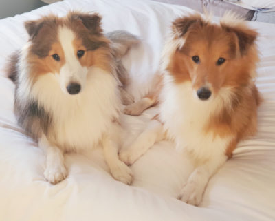 Shelties on bed