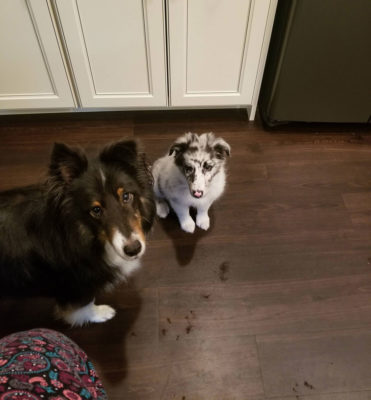 Shelties in the kitchen