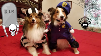 Shelties dressed as prisioner and jailer