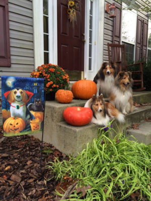 Sheltie and halloween flag
