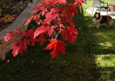 Sheltie under red maple