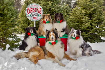 Sheltie Christmas card
