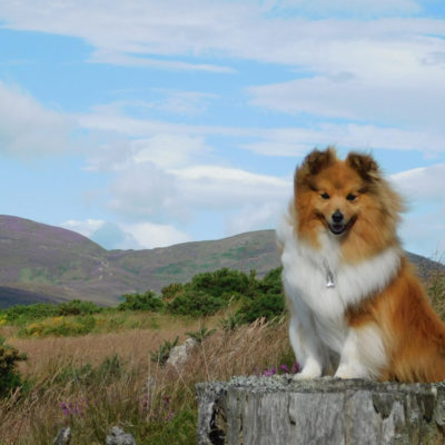 Sheltie in Scotland