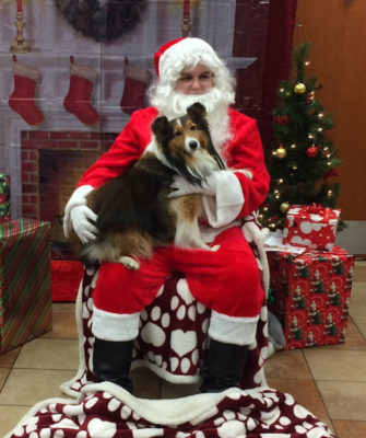 Sheltie and santa
