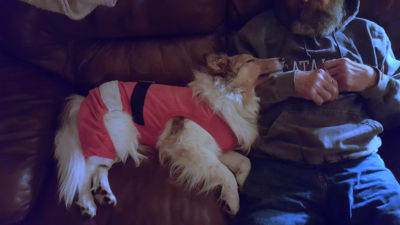Sleeping sheltie in santa suit