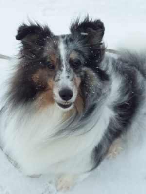 Sheltie smiling in snow