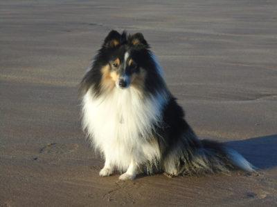 Sheltie on beach