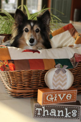 Sheltie Thanksgiving