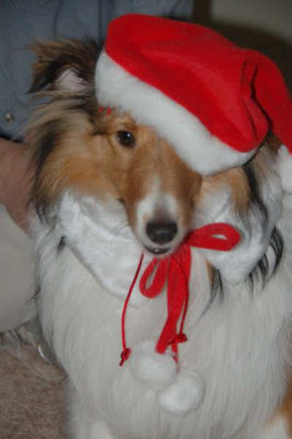 Sheltie in santa hat