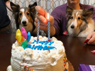 Shelties celebrating birthday