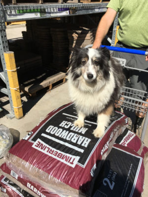 Sheltie at Lowes