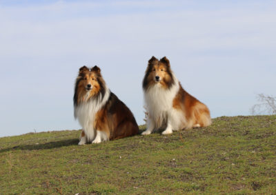 twin shelties