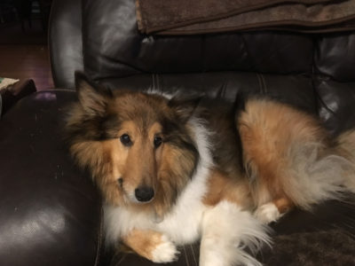 Sheltie lounging