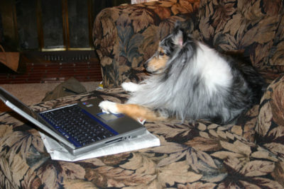 Sheltie on laptop