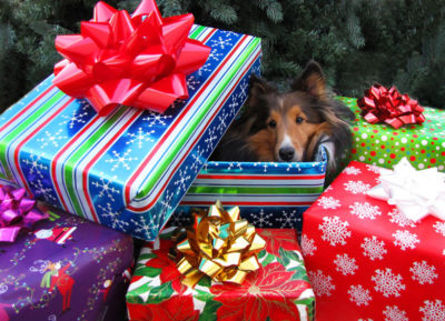 Sheltie as present