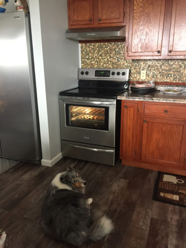 Sheltie watching cookies bake